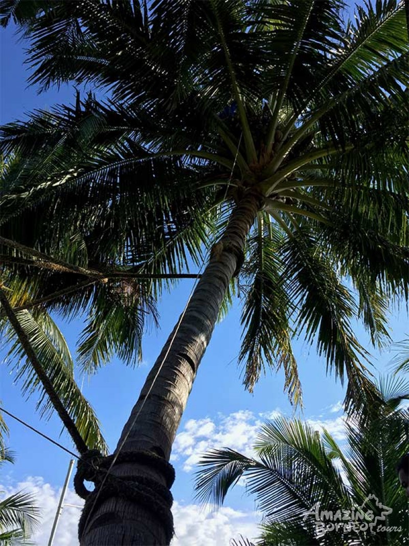 a man on coconut tree at sabah