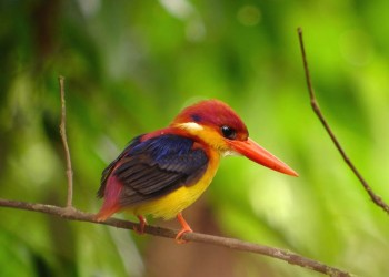 8D7N Birding & Wildlife In Mystical Borneo