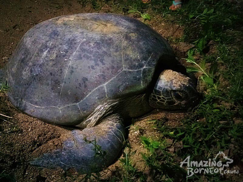 3D2N STARLIGHT WITH TURTLES, SUNRISE WITH ORANGUTANS - LIBARAN ISLAND / SEPILOK  - Amazing Borneo Tours