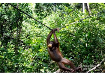 Do your part in protecting the endangered Orang Utan