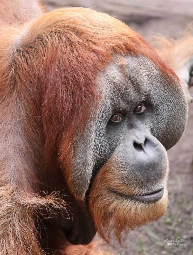 Orangutans May Be Extinct in Only 10 Years